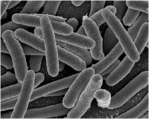 coliform-bacteria